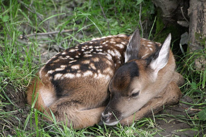 Capriolo Bambi