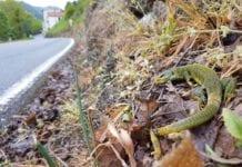 Un ramarro ucciso dal diserbante a Molini