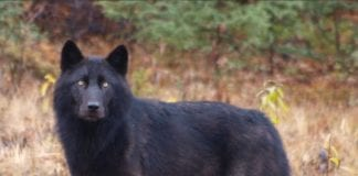 un lupo nero
