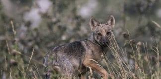 """Un'immagine del documentario """"I miei lupi"""""""